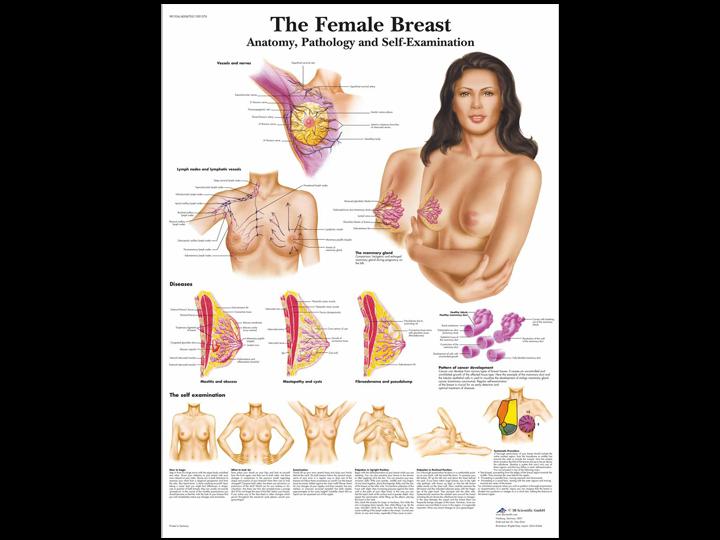 Anatomical Chart - Female Breast