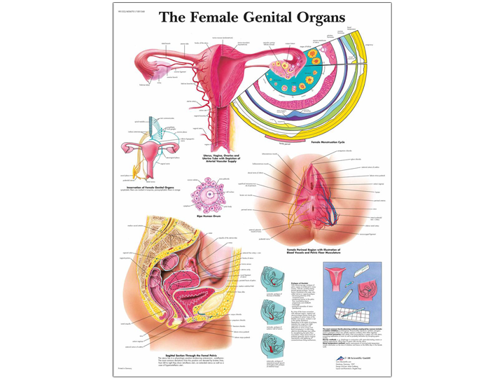 Anatomical Chart - Female Genital Organs - A-1 Medical Integration