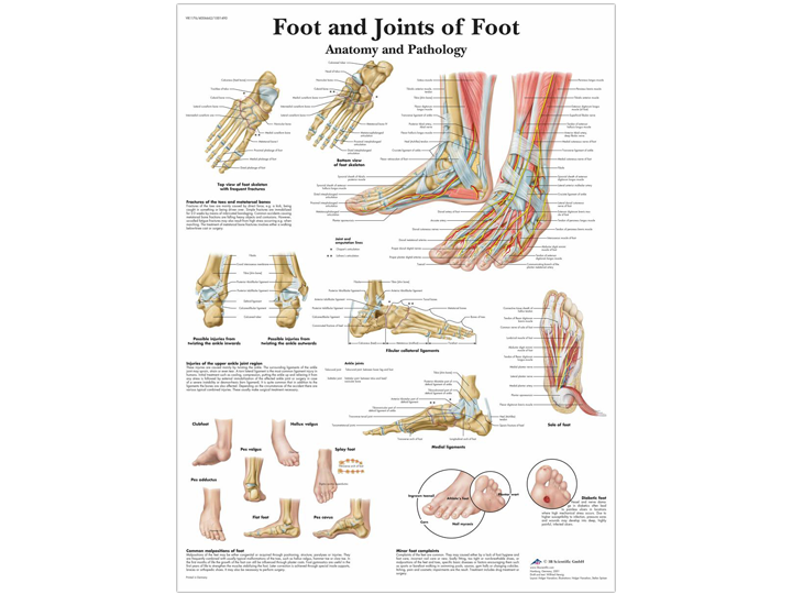 Anatomical Chart - Foot & Joints of Foot