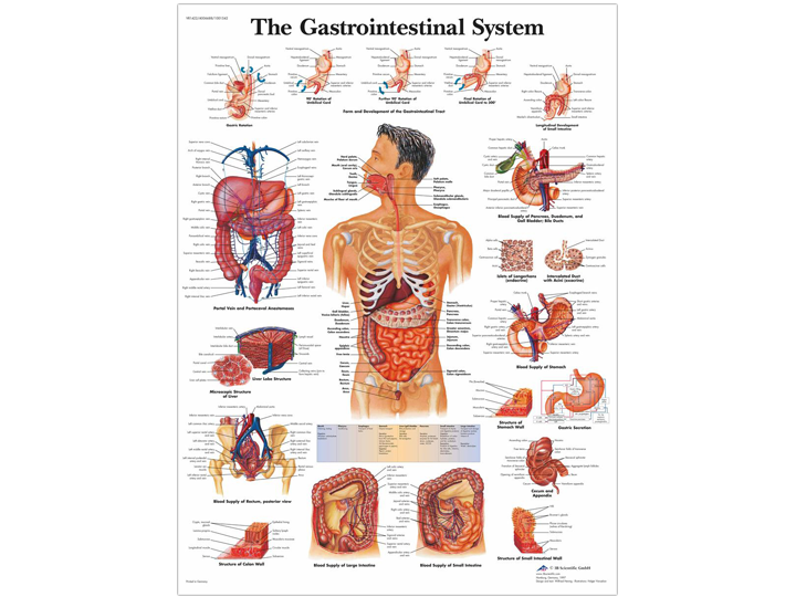 Anatomical Chart - Gastrointestinal System