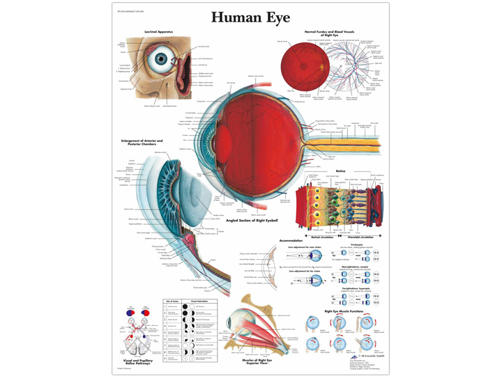 Anatomical Chart - Human Eye