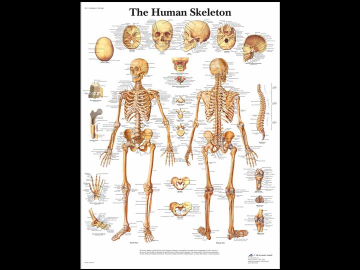 Anatomical Chart - Human Skeleton