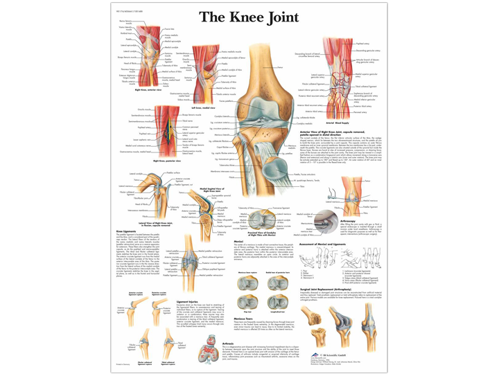Anatomical Chart - Knee Joint