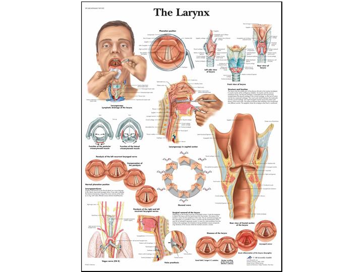 Anatomical Chart - Larynx