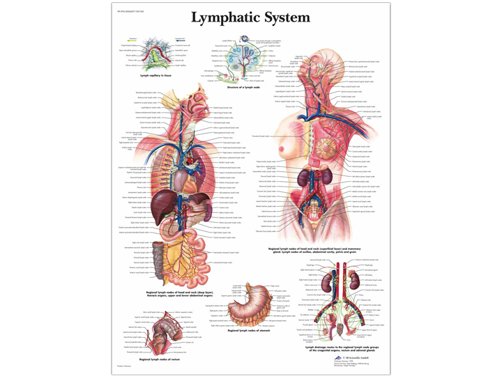 Anatomical Chart - Lymphatic System