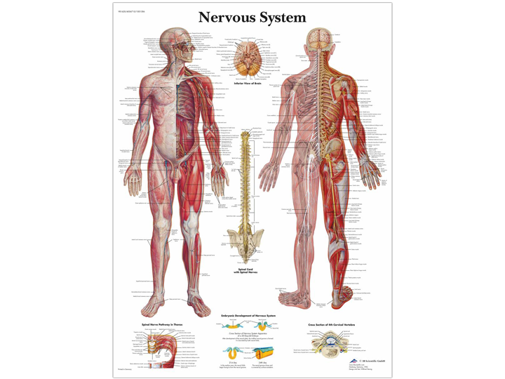 Anatomical Chart - Nervous System