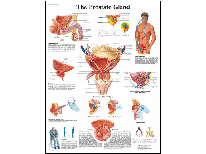 Anatomical Chart - Prostate Gland
