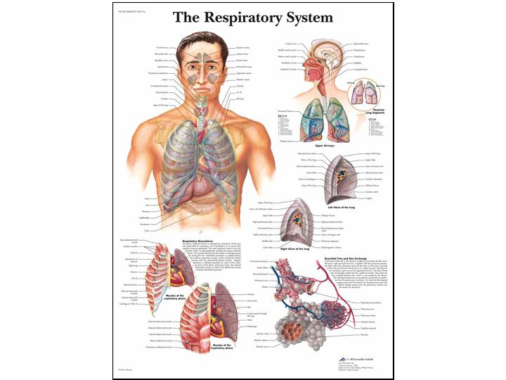 Anatomical Chart - Respiratory System
