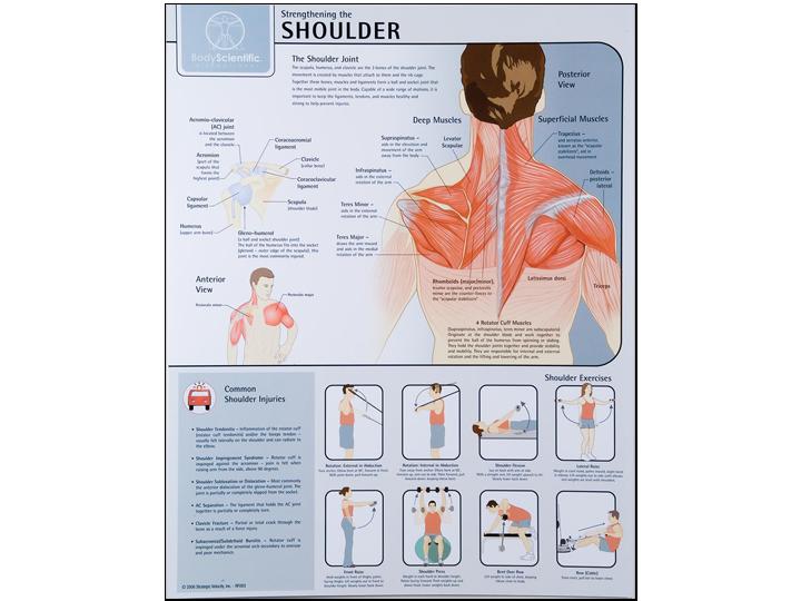 Anatomical Chart - Shoulder
