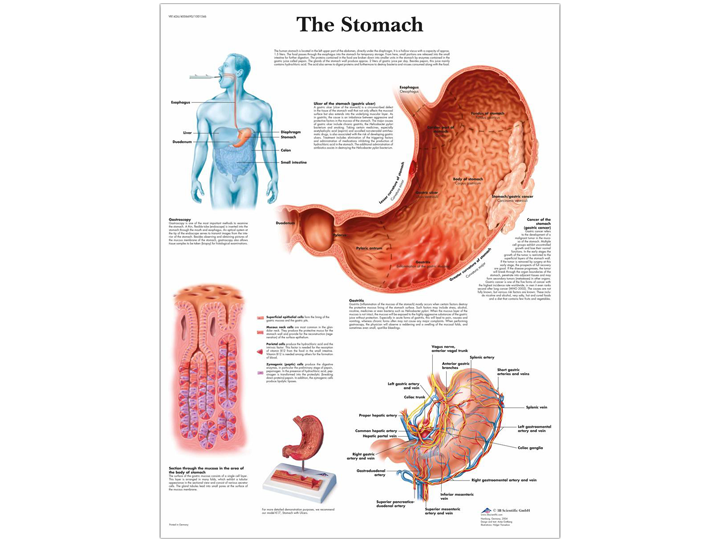 Anatomical Chart - Stomach