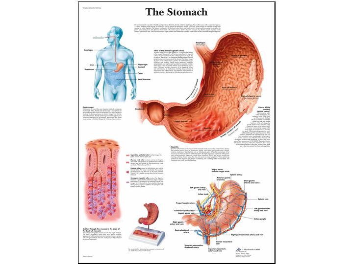 Anatomical Chart - Stomach