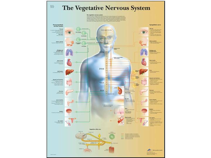Anatomical Chart - Vegetative Nervous System