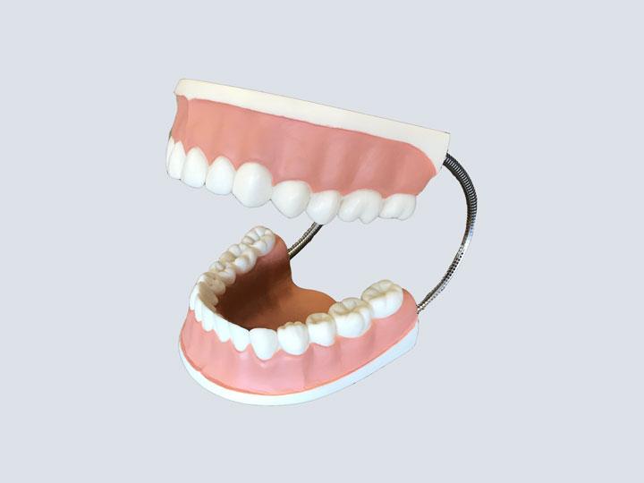 Teeth Model - Oversized